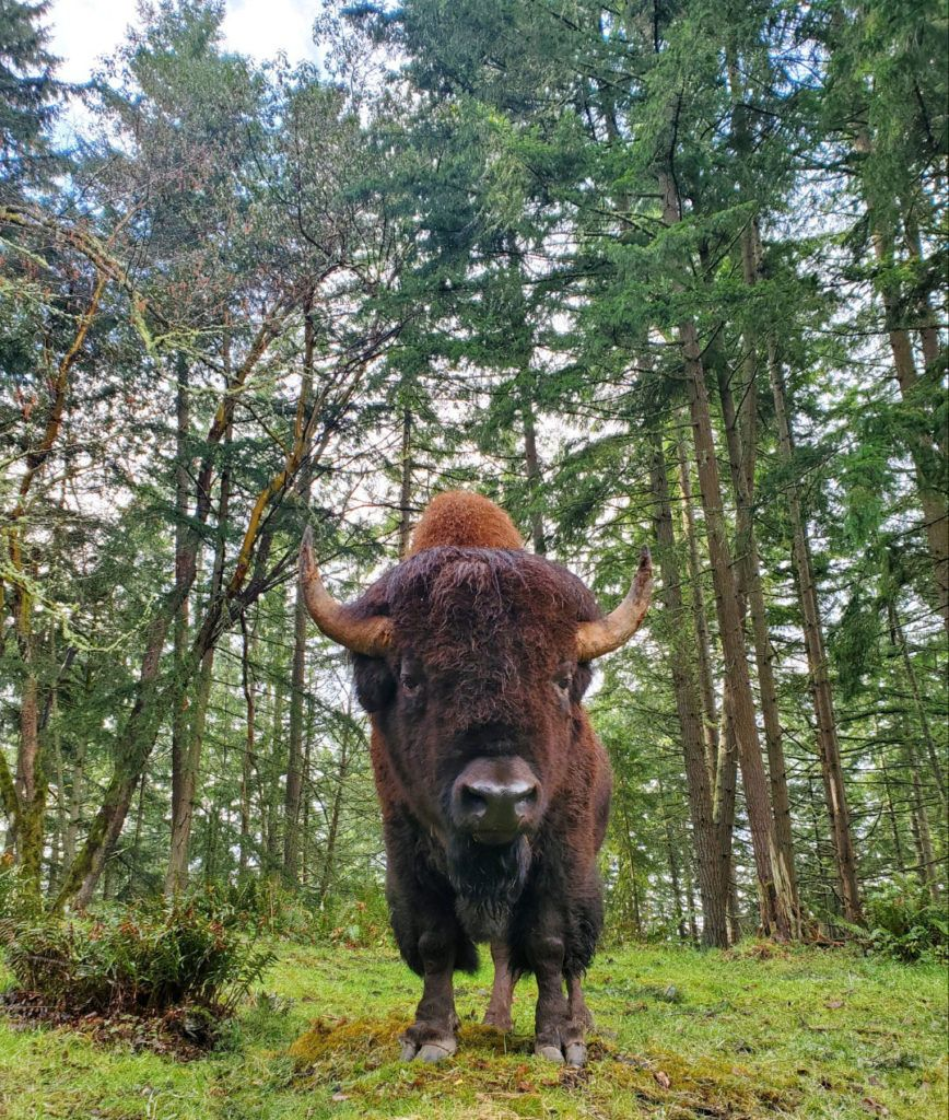 bison on grass