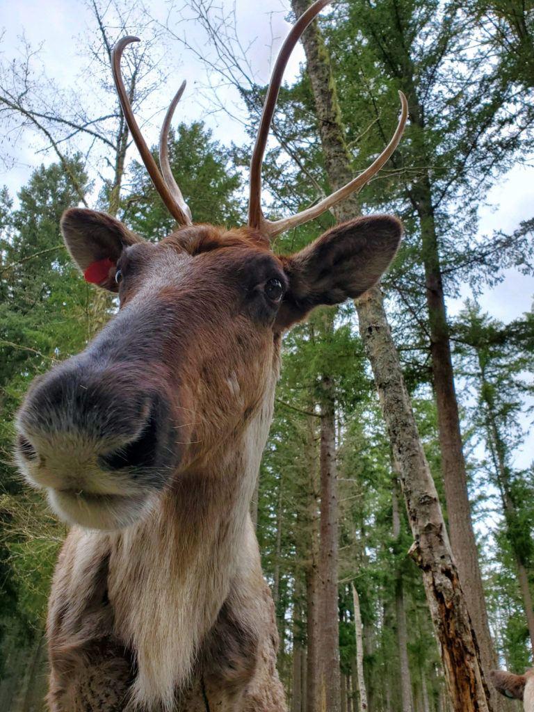 caribou close up