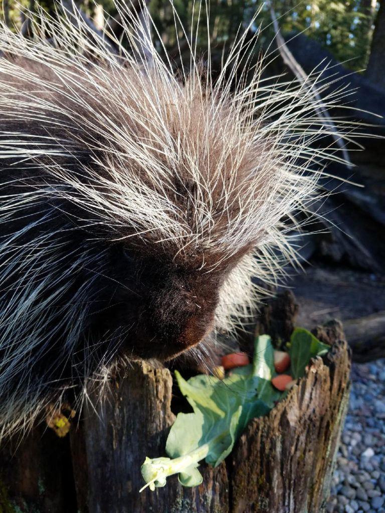 porcupine eating treat