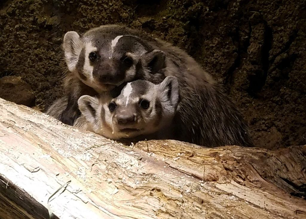 two badgers on log