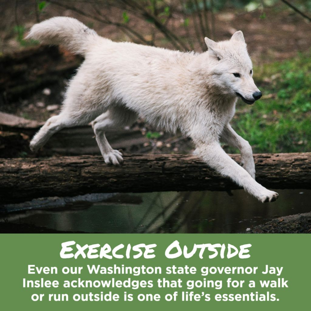 wolf running over log