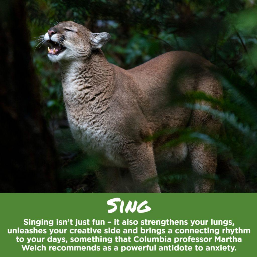 cougar singing