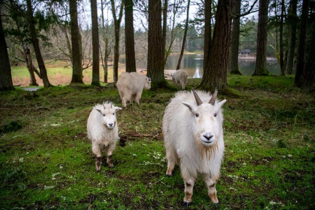 mountain goats looking front