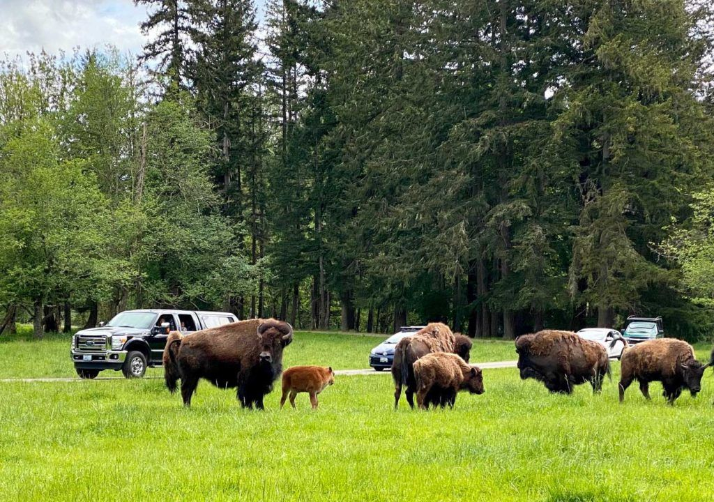 bison and cars