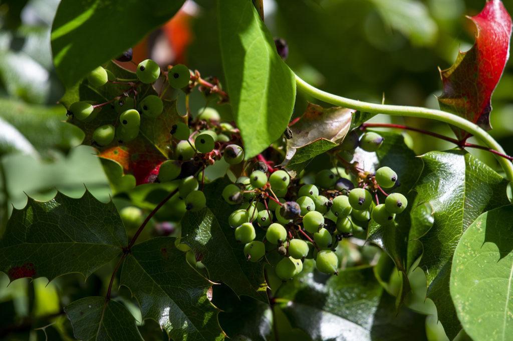 Oregon grape berries