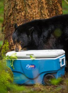 black bear tries to open cooler