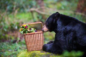 black bear smells picnic basket