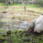 mountain goat lying in grass