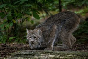 lynx crouching
