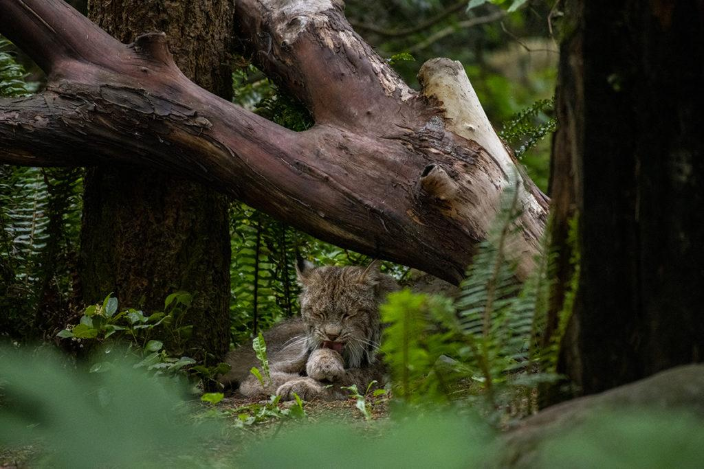 lynx licking paw