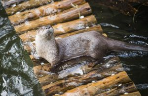 otter on raft in water