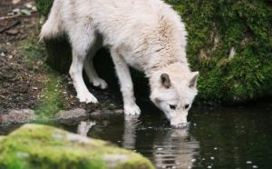 wolf drinking at pool