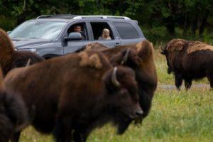 Wild drive car and bison
