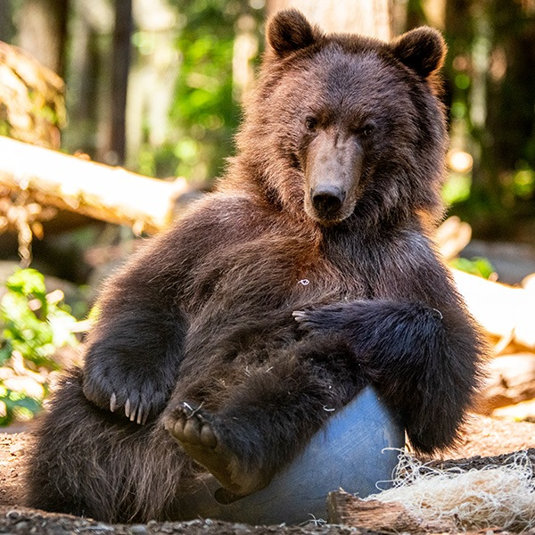 Grizzly Bear Relaxing