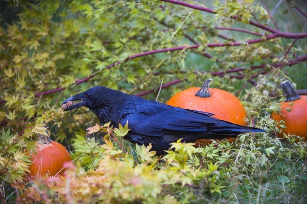 raven in pumpkins