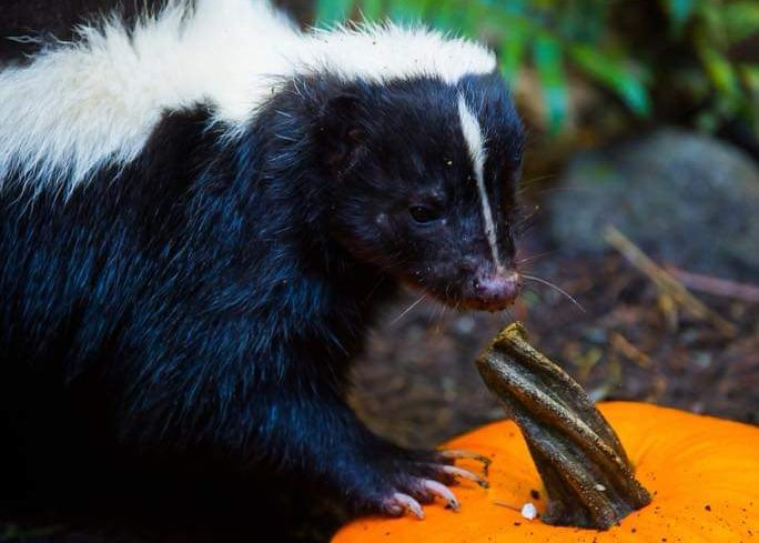 skunk pumpkin