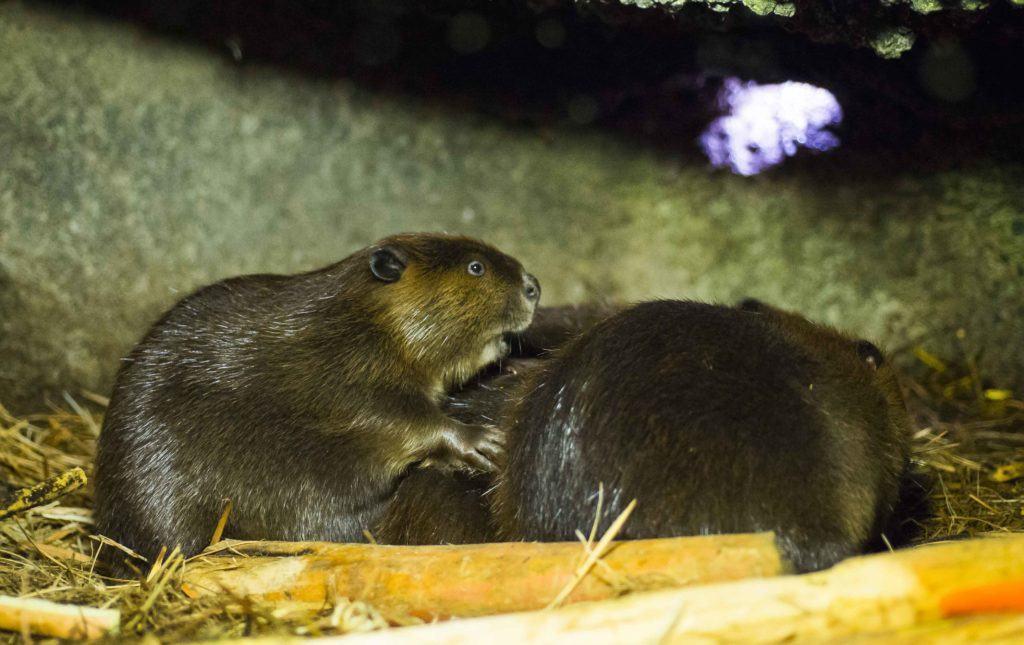 beaver family in lodge