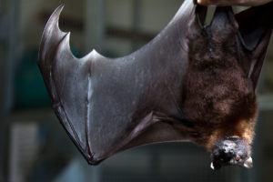 fruit bat wing