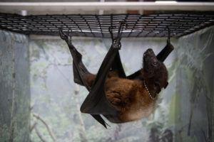indian fruit bat hanging