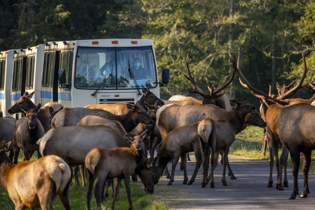 tram and elk herd
