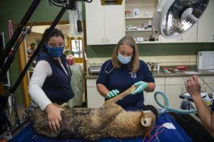 vet holding wolf leg