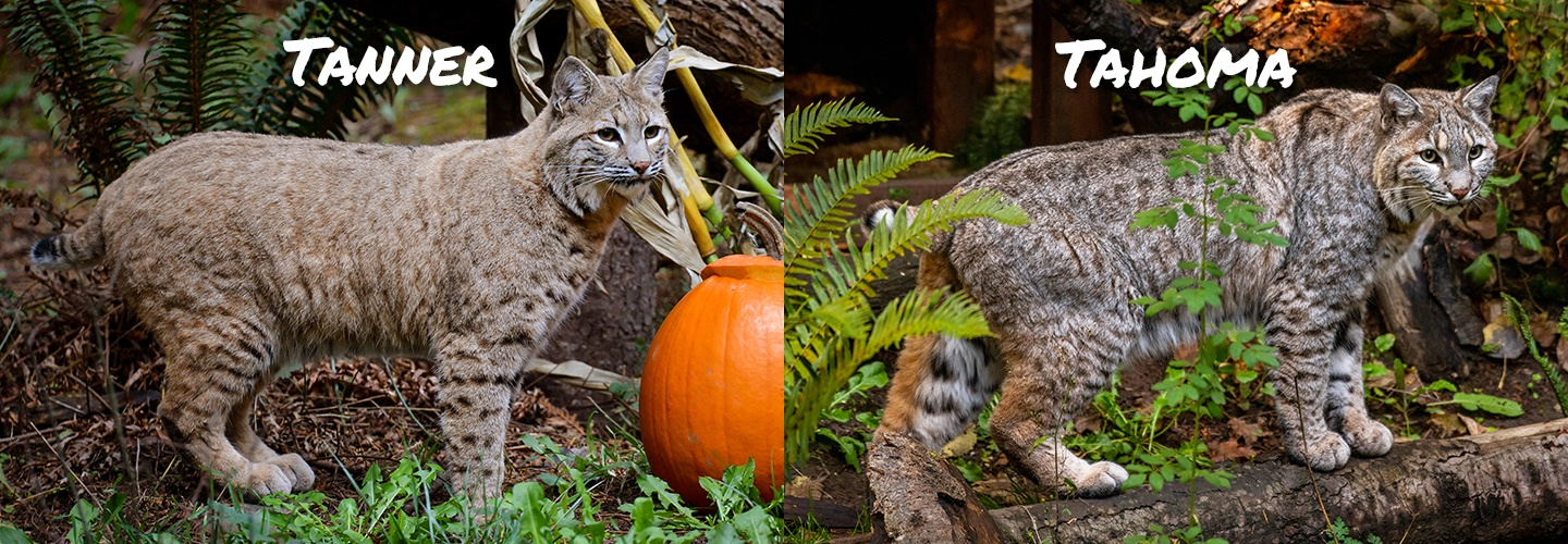 side by side pictures of Tanner and Tahoma the bobcats