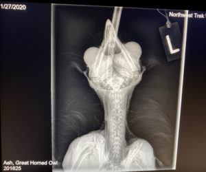 x-ray of great horned owl
