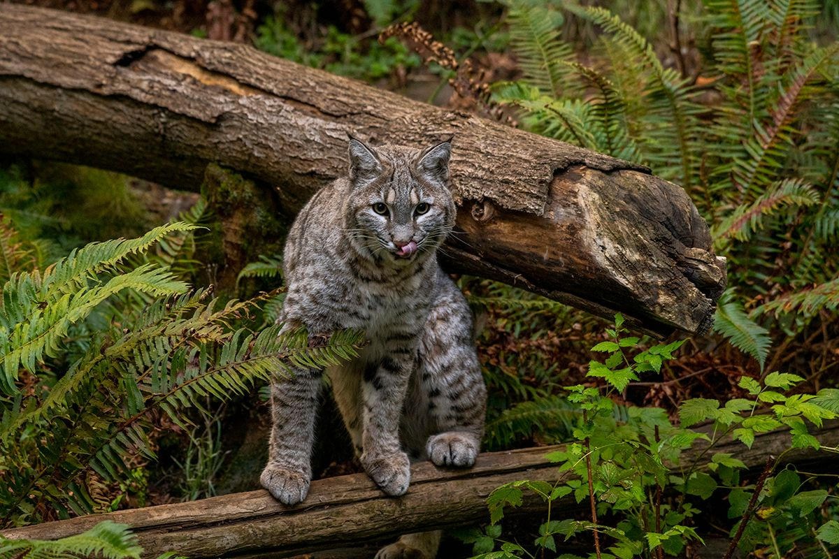 bobcat stands on log, stares at camera