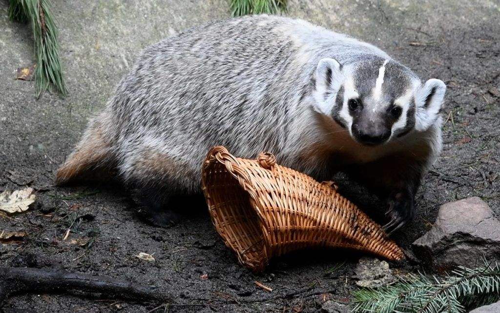 badger plays with cornucopia