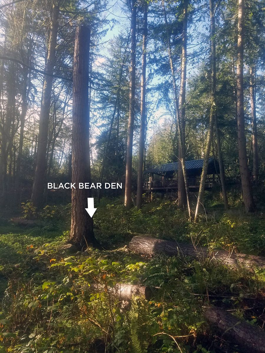 black bear hibernation den