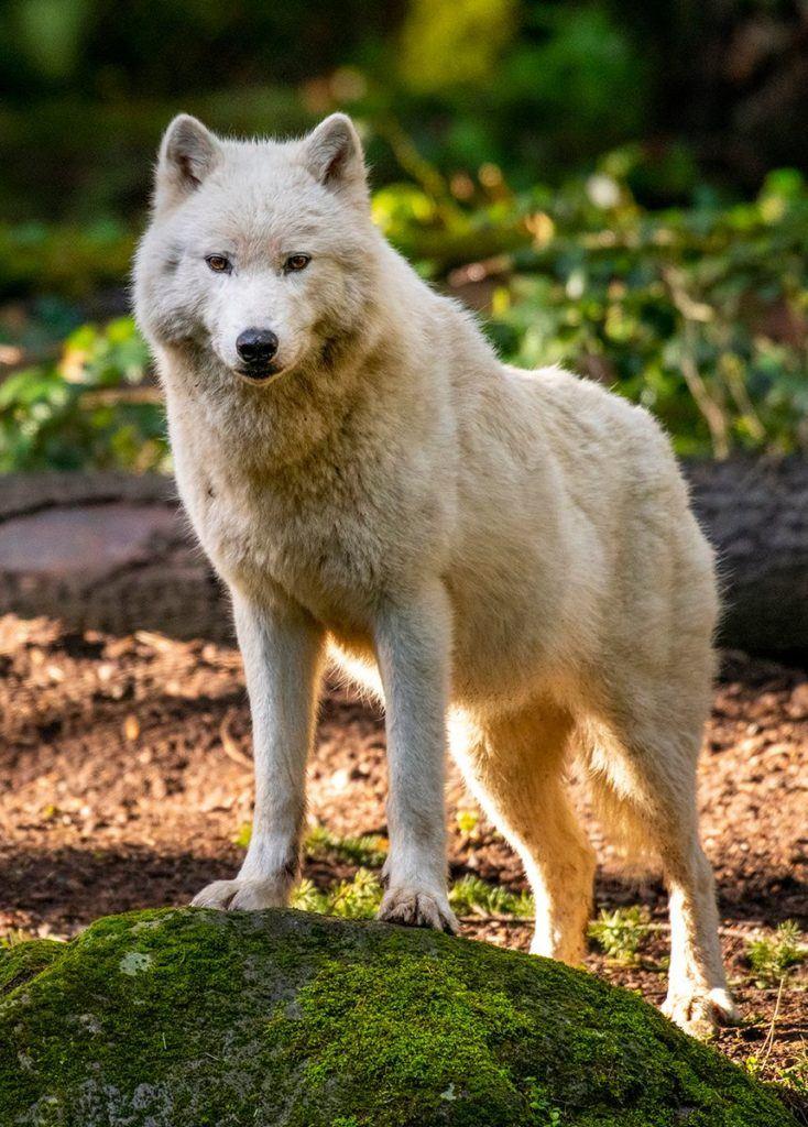 gray wolf staring at camera