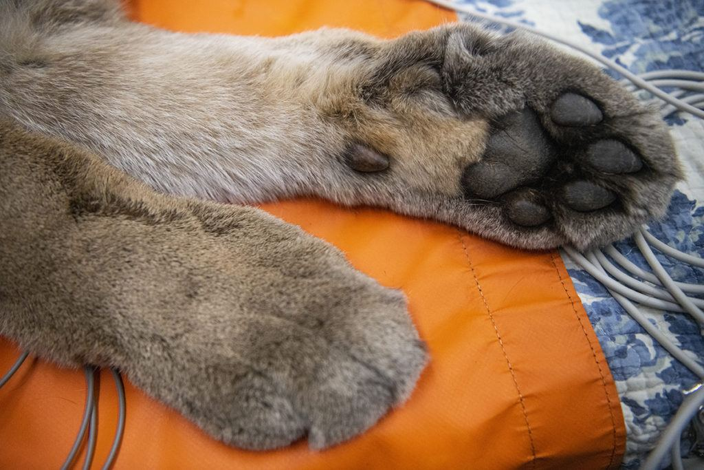 cougar exam paws
