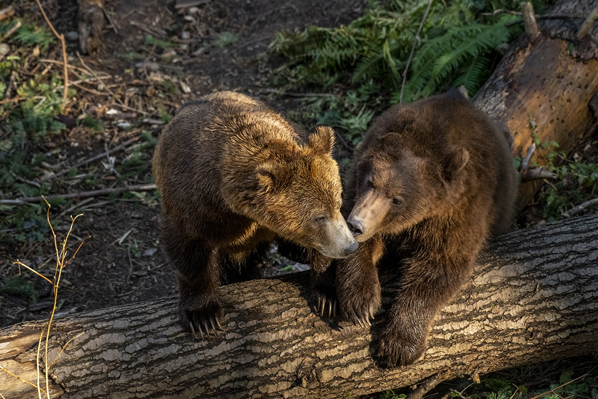 two grizzly bears on log, looks like they are kissing each other