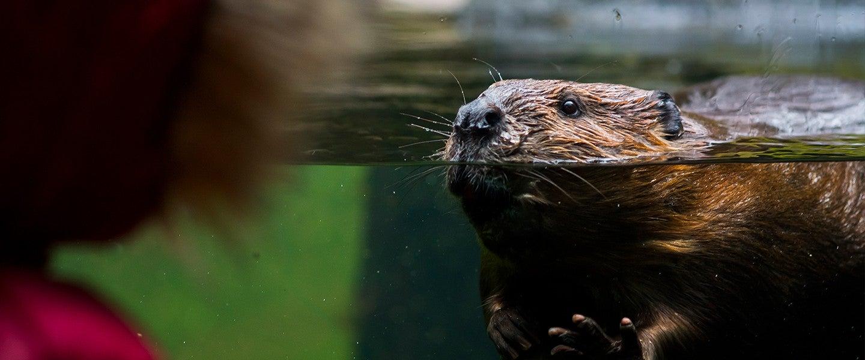 Beaver looking at girl