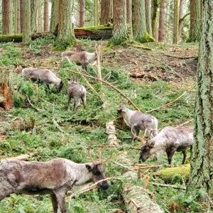 caribou cleanup