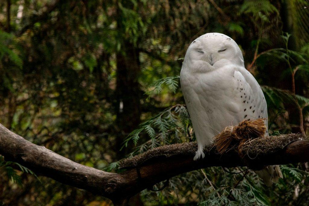 Male snowy owl sits on branch in his exhibit at Northwest Trek
