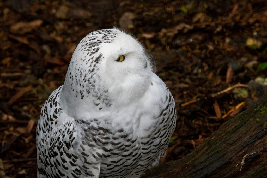 Female snowy owl sits on ground of exhibit at Northwest Trek Wildlife Park