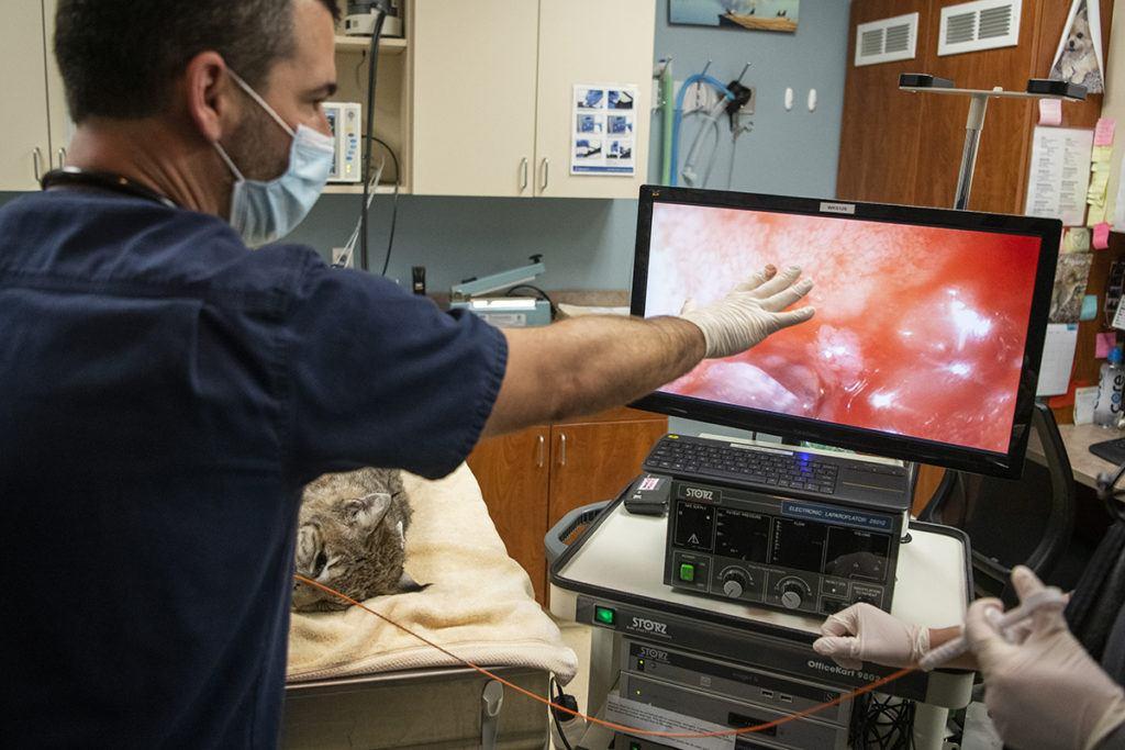 vet does bobcat endscopy