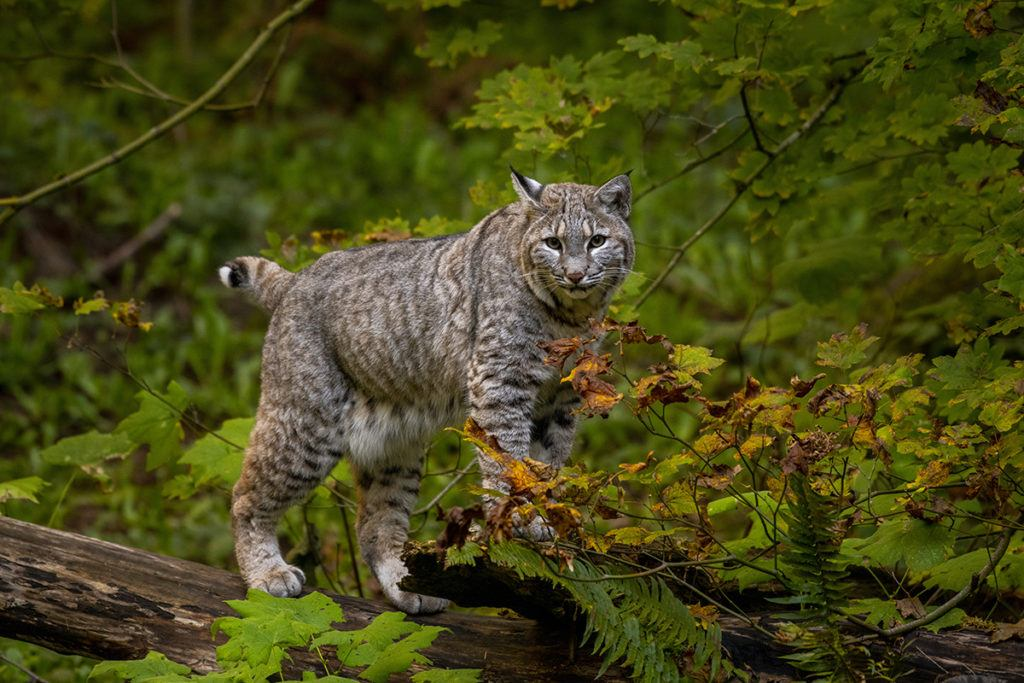 tahoma the bobcat in leaves