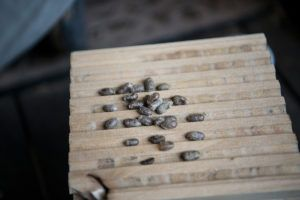 mason bee cocoons in tunnel