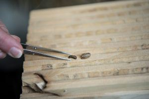 mason bee wasp larvae