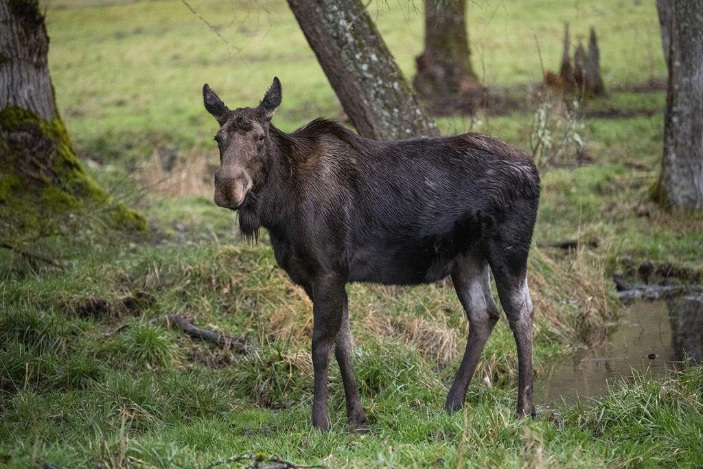 aspen the moose