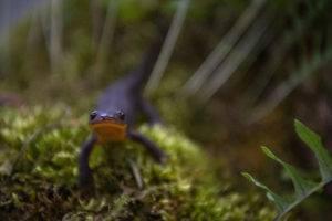 newt on grass