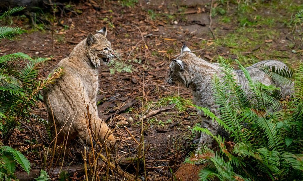 two bobcats circling each other and staring at each other