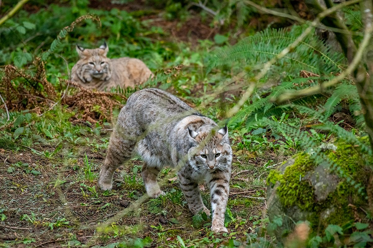 bobcats on exhibit together