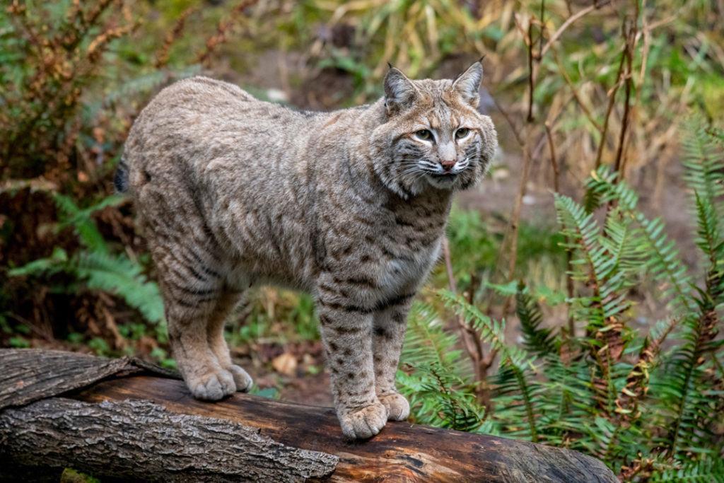 bobcat-tanner