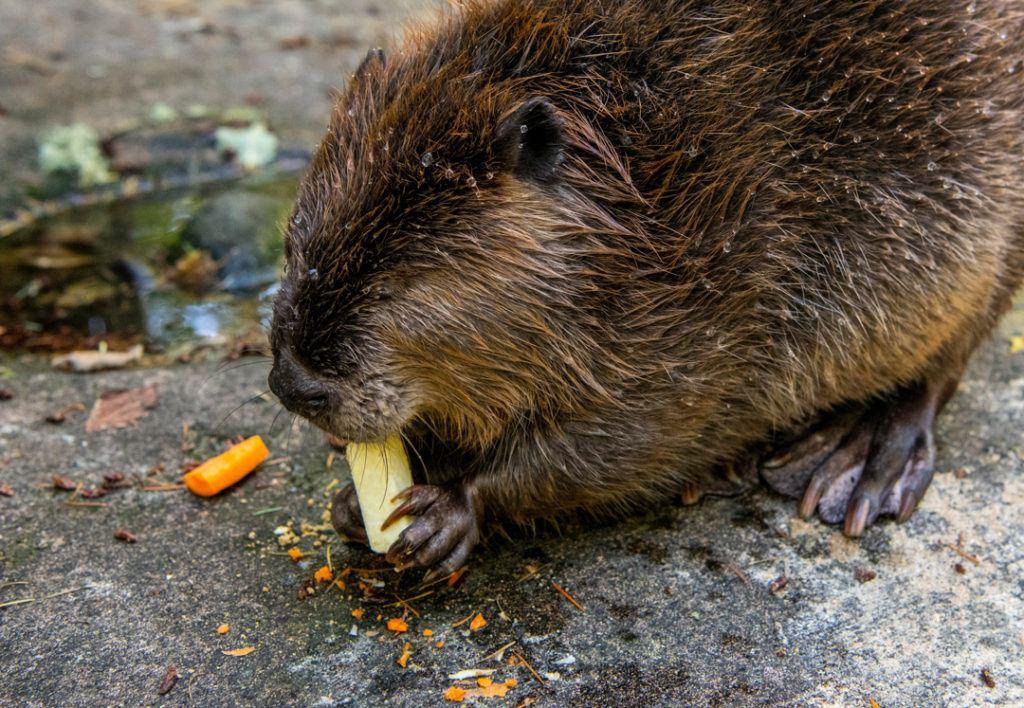 Papa Beaver