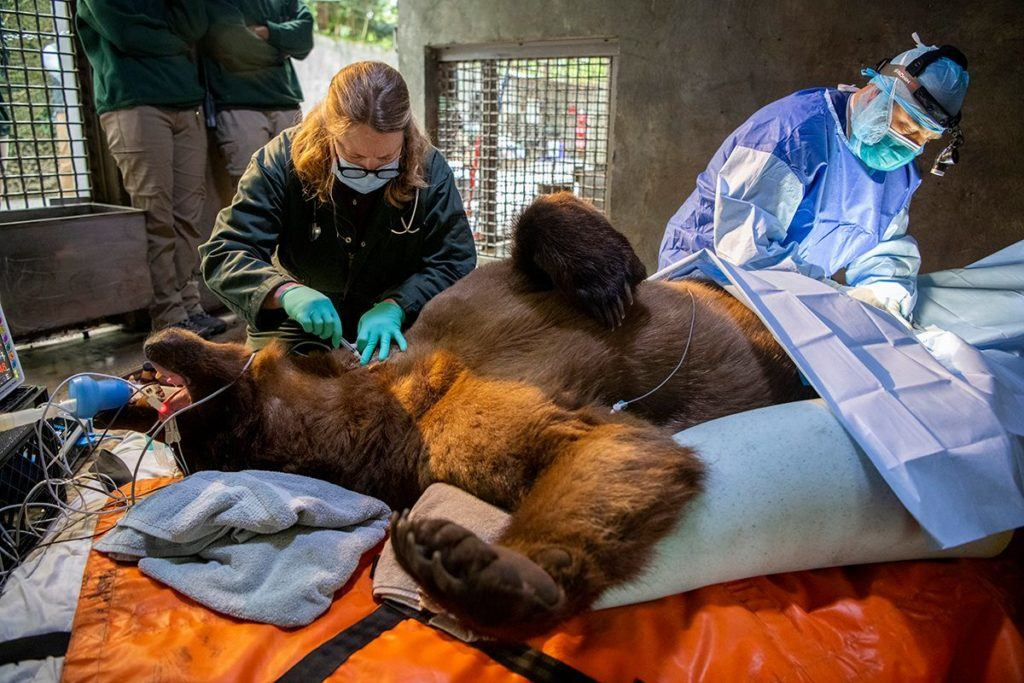 Vet looks examines grizzly bear