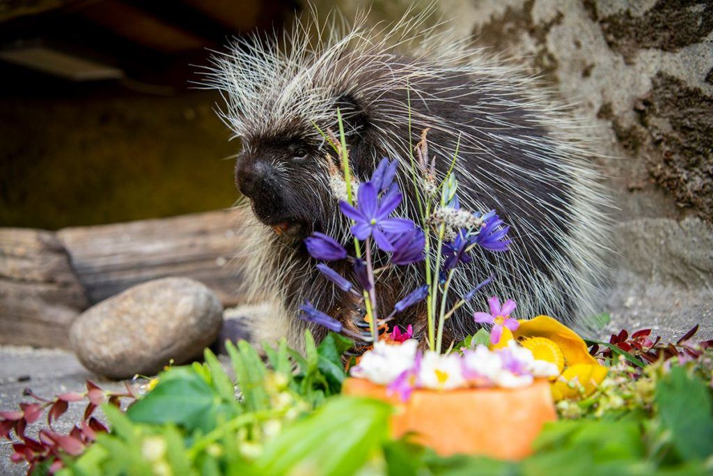 Thistle the porcupine enjoying his flowers.
