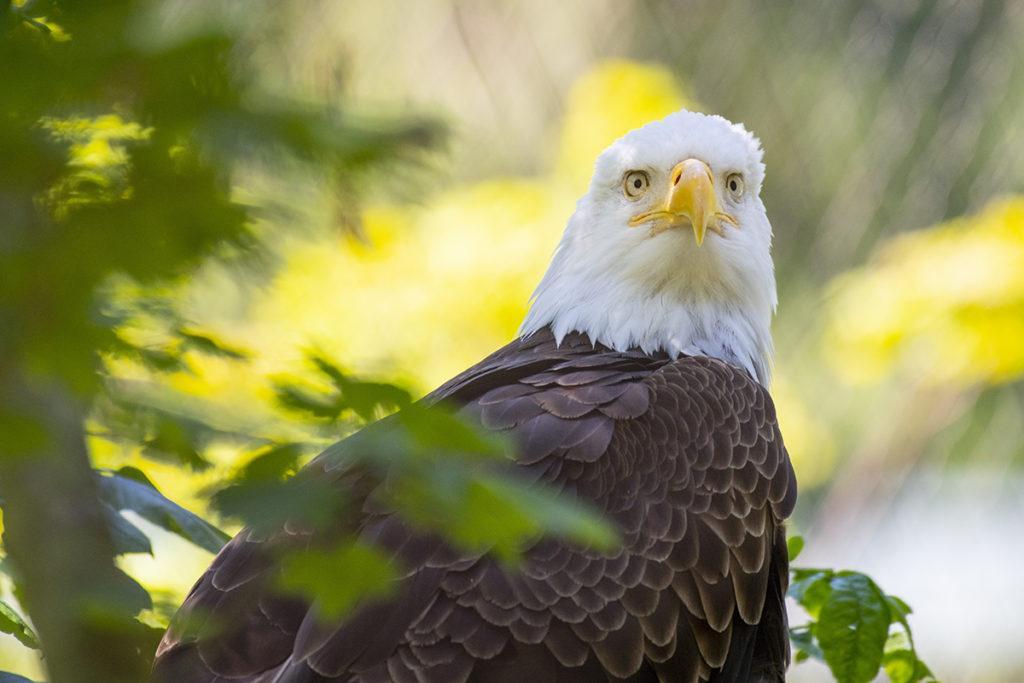 cheveyo bald eagle